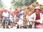 Lychee farmers chase fruity fortunes