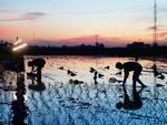 Farmers work at night to avoid severe heat