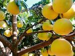 Famed Phúc Trạch grapefruit sales suffer amid pandemic