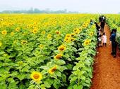 Sunflower festival to draw tourists to Nghệ An