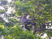 Central province to restore forest for endangered langurs
