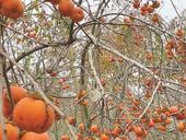 Dried persimmon – a delicacy of Đà Lạt