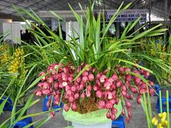 Sapa orchids can be worth five motorbikes