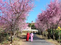 Festival of cherry blossoms to be held in Đà lạt