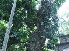 Residents want to sell 200-year-old sưa tree