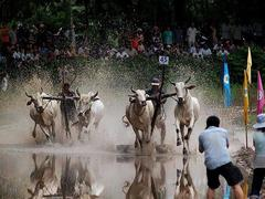 Ox racing festival in An Giang attracts huge crowd
