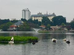 Swans find new home in Thiền Quang Lake