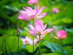 Lotus key in boosting Đồng Tháp tourism