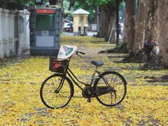 The fruit that marks the start of autumn in Hà Nội