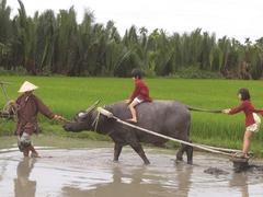 Buffalo tours in Hội An prove a hit