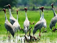 Red-crowned cranes return to Mekong Delta