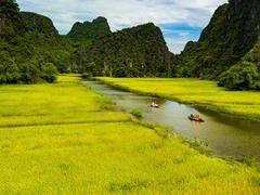 Yellow floating rice fields awaittourists this week